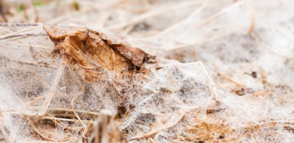 Snow Mold in Your Lawn. How to Identify It and Correct It.