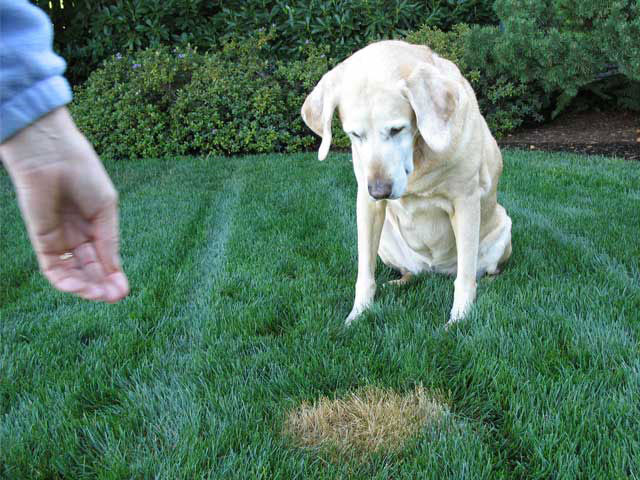 How to Correct Dog Urine Damage in Your Lawn