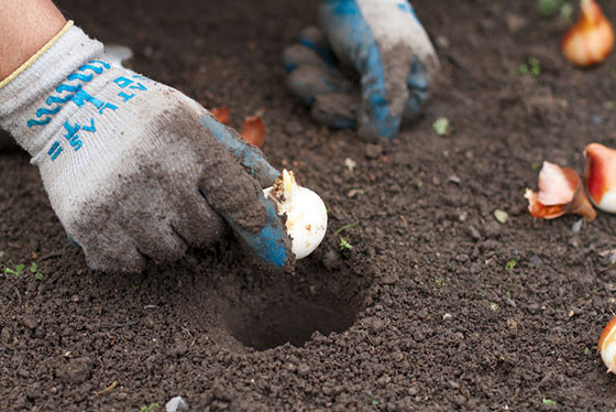 Fall Bulb Planting Tips for Buffalo