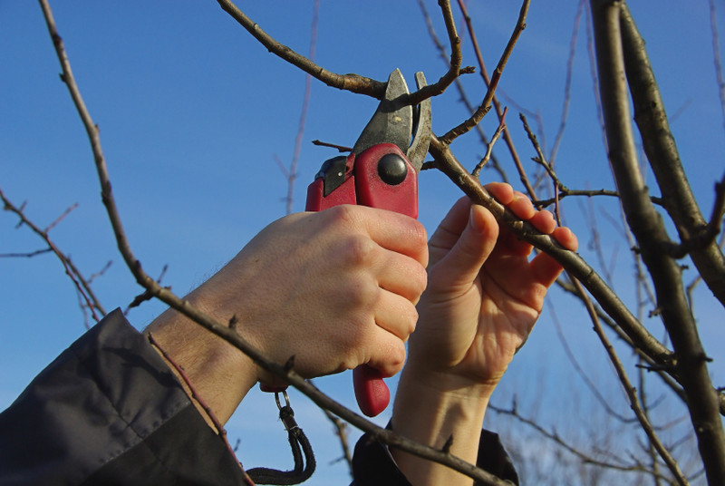 Dormant Pruning in Buffalo